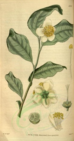 tea-00014 - 3148-thea viridis, Green Tea [1750x3317]