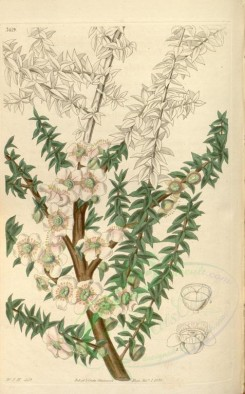 tea-00016 - 3419-leptospermum scoparium grandiflorum, Rigid-leaved Leptospermum large-flowered variety [2085x3354]