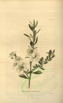 tea-00031 - leptospermum grandiflorum [1953x3168]