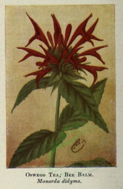 tea-00045 - OSWEGO TEA, BEE BALM [1686x2580]