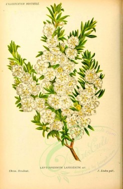 tea-00046 - leptospermum lanigerum [1963x3006]
