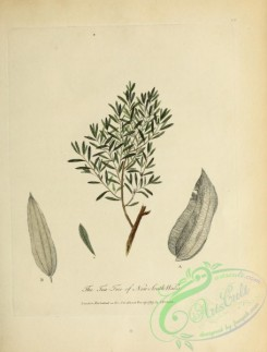 tea-00075 - Tea-Tree of New South Wales
