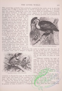 the_living_world-00254 - 274-Wrinkled Horned Toucan, buceros plicatus, Bearded Cuckoo, bucco flavigula