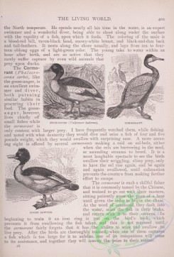 the_living_world-00340 - 361-Duck-Goose, vulpanser tadorna, Cormorant, Goose Sawyer