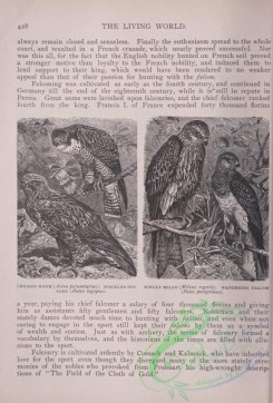 the_living_world-00367 - 388-Chicken Hawk, astua palumbarius, Speckled Buzzard, buteo lagopus, Kingly Milan, milvus regalis, Wandering Falcon, falco peregrinus