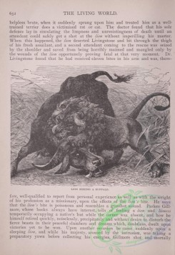 the_living_world-00566 - 594-Lion Seizing a Buffalo