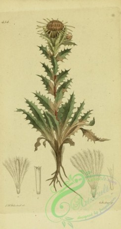 thistle-00023 - carlina vulgaris [1811x3404]