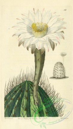 thistle-00053 - 013-cereus leucanthus, White Torch-thistle [1954x3428]