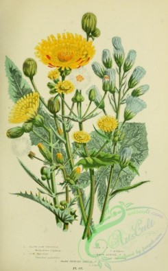 thistle-00092 - 037-BLUE SOW-THISTLE, SOW THISTLE, CORN SOW-THISTLE, COMMON ANNUAL SOW-THISTLE, SHARP FRINGED ANNUAL SOW-THISTLE [2224x3587]