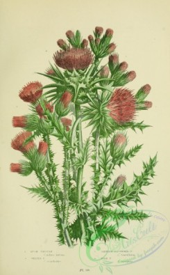 thistle-00093 - 043-MUSK THISTLE, WELTED THISTLE, SLENDER FLOWERED THISTLE, MILK THISTLE [2224x3587]