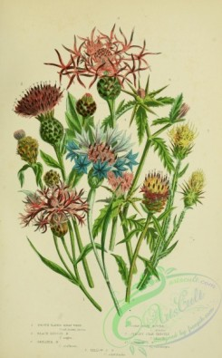 thistle-00096 - 046-BROWN-RAYED KNAP WEED, BLACK DISCOID KNAP WEED, GREATED KNAP WEED, CORN BLUE BOTTLE, JERSEY STAR THISTLE, COMMON STAR THISTLE, YELLOW STAR THISTLE [2224x3587]