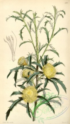 thistle-00148 - 4317-dryandra carduacea angustifolia, Thistle-like Dryandra narrow-leaved variety [1946x3436]