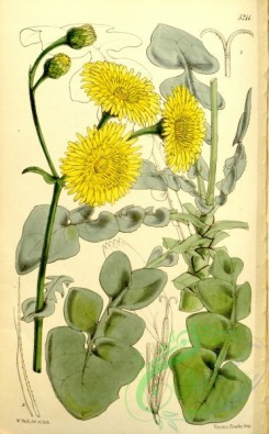 thistle-00153 - 5211-sonchus radicatus, Long-rooted Sow-thistle [2162x3487]