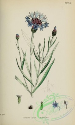 thistle-00463 - Blue-bottle, centaurea cyanus