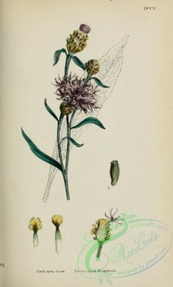 thistle-00464 - Brown-rayed Knapweed, centaurea jacea