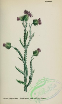 thistle-00475 - Hybrid between Musk and Welted Thistles, carduus nutanti-crispus