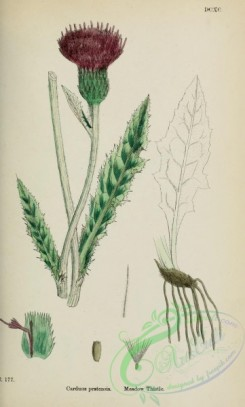 thistle-00478 - Meadow Thistle, carduus pratensis