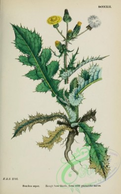 thistle-00482 - Rough Sow-thistle form with pinnatifid leaves, sonchus asper