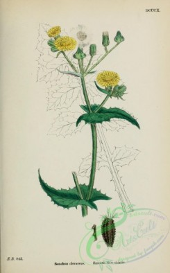 thistle-00487 - Smooth Sow-thistle, sonchus oleraceus