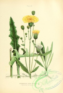 thistle-00511 - Perennial Sow-Thistle, sonchus arvensis