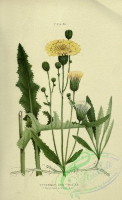 thistle-00519 - Perennial Sow-Thistle, sonchus arvensis