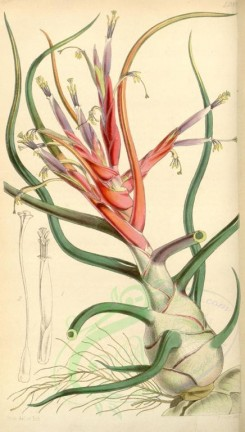 tillandsia-00014 - 4288-tillandsia bulbosa picta, Bulbous Tillandsia coloured variety [1963x3457]