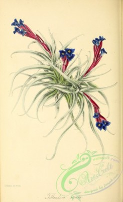 tillandsia-00085 - Straight Tillandsia, tillandsia stricta