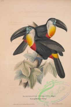 toucans-00008 - Channel-billed, Citron-throated, Yellow-ridged or Ariel Toucan