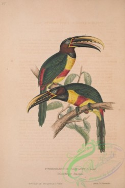 toucans-00009 - Chestnut-eared Aracari