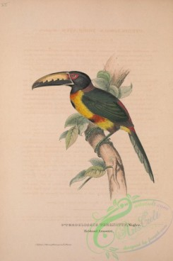 toucans-00011 - Collared Aracari