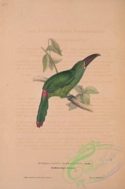 toucans-00012 - Crimson-rumped Toucanet