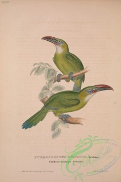 toucans-00017 - Groove-billed or Yellow-billed Toucanet