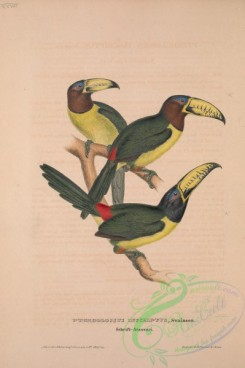 toucans-00018 - Lettered Aracari