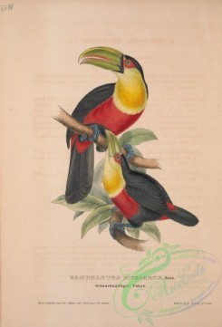 toucans-00038 - Red-breasted Toucan