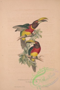 toucans-00039 - Red-necked Aracari