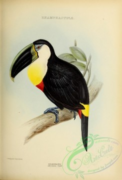 toucans-00044 - Citron-throated Toucan