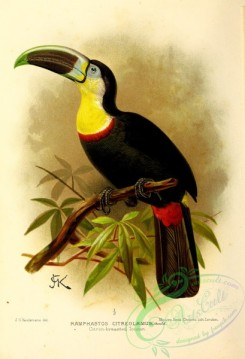 toucans-00045 - Citron-breasted Toucan, ramphastos citreolaemus