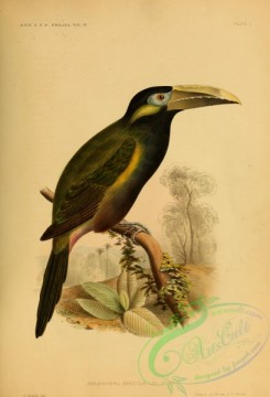 toucans-00049 - Yellow-eared Toucanet, selenidera spectabilis
