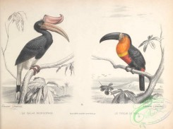 toucans-00050 - Rhinoceros Hornbill, Channel-billed toucan