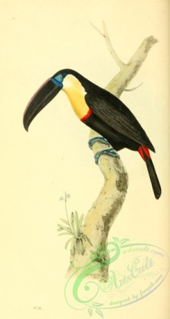 toucans-00069 - Channel-billed, Citron-throated, Yellow-ridged or Ariel Toucan, ramphastos vitellinus
