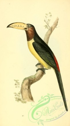 toucans-00072 - Lettered Aracari, pteroglossus inscriptus