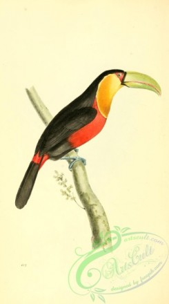 toucans-00073 - Red-breasted Toucan, ramphastos dicolorus