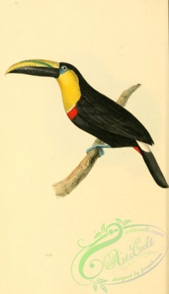toucans-00074 - Black-mandibled or Chestnut-mandibled Toucan, ramphastos ambiguus
