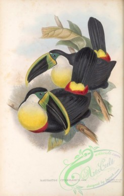 toucans-00107 - 009-ramphastos citreolaemus
