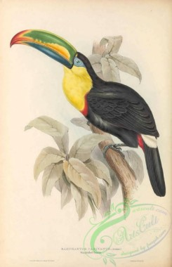 toucans-00156 - 007-Sharp-billed Toucan, ramphastos carinatus