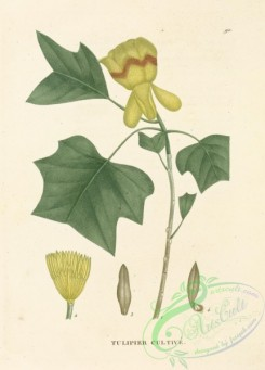 tree_branches-00038 - Liriodendron tulipifera