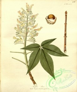 tree_branches-00269 - aesculus flava