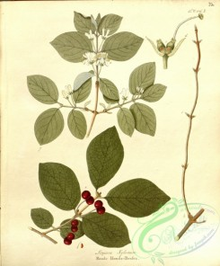 tree_branches-00331 - lonicera xylosteum