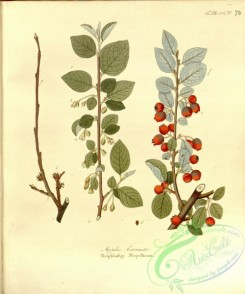 tree_branches-00336 - mespilus cotoneaster