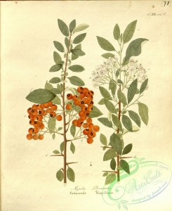 tree_branches-00339 - mespilus pyracantha
